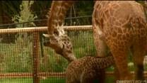Wielka kariera małej żyrafy