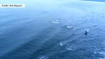 Wielkie stado delfinów płynęło za promem. Urządziły pościg?