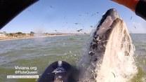 Wieloryb prawie zrzucił kobietę z deski!