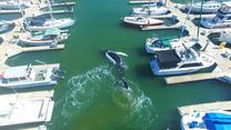 Wieloryb wpłynął do portu. Niesamowite!