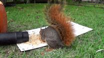 Wiewiórki kontra dmuchawa do liści. Jest energia