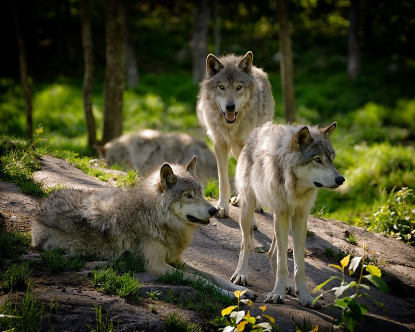 wilki; zdj. ilustracyjne /©123RF/PICSEL