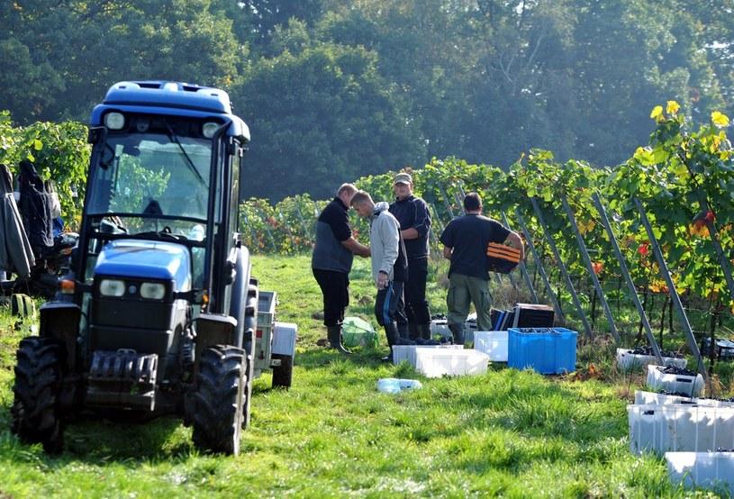 Winiarstwo w Polsce staje się coraz bardziej popularne, na zdj. winobranie rocznika 2014 w winnicy Srebrna Góra, Kraków, Bielany /Marek Lasyk/REPORTER  /East News