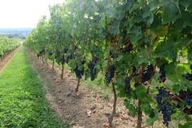 Winnice Malagar jeszcze przed zbiorem czyli przed vendange.