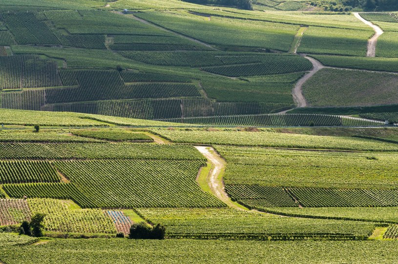 Winnice szampanii /©123RF/PICSEL