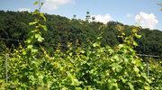 Winnice w Małopolsce zapraszają turystów