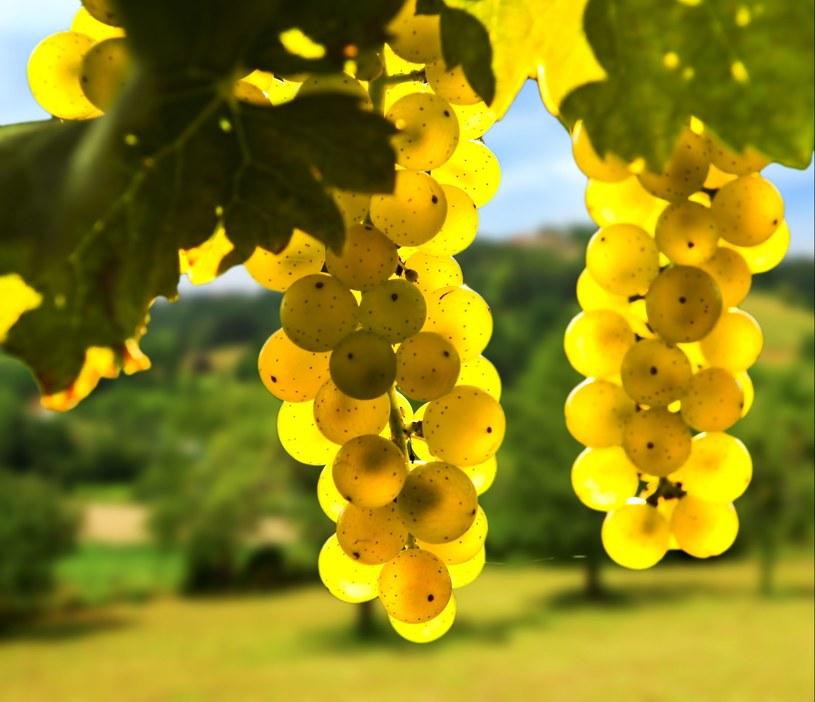 Winogrona szczepu chardonnay /©123RF/PICSEL