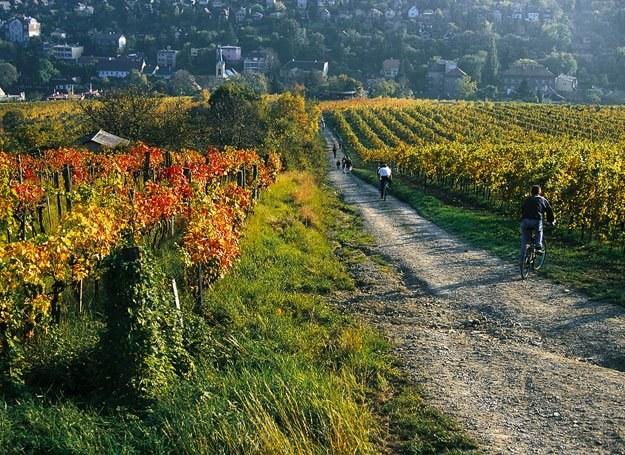 Winorośla na wzgórzach wokół Wiednia /materiały prasowe