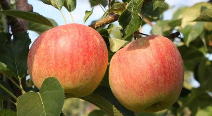 Wkrótce spróbujemy jabłek z musującym miąższem /materiały prasowe