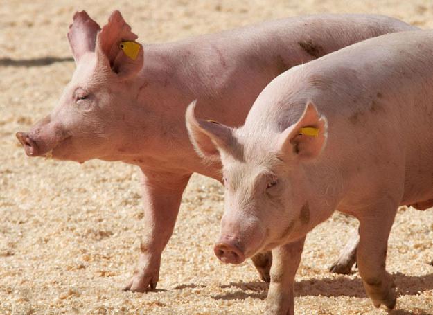 Właścicielem zwierzęcia jest chiński farmer Zhang Xiaping/ Zdjęcie ilustracyjne /123RF/PICSEL