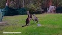 Wszystkie ciosy dozwolone. Walka kickbokserska dwóch kangurów