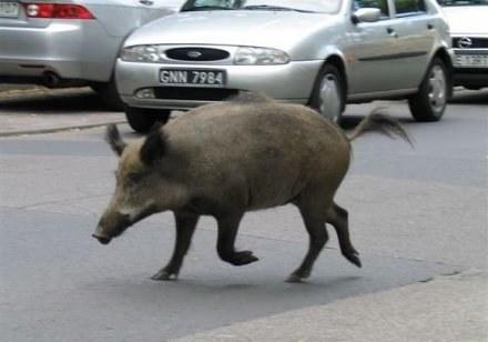 Wycieczka dzików do Wrocławia może skończyć się tragicznie... /RMF