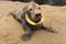 Wycieńczoną fokę z fresbee wokół szyi znaleziono na plaży. Ledwo ją odratowano