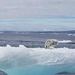 Wygłodzony lis polarny utknął na skrawku góry lodowej
