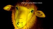Wyhodowali owce, które świecą w ciemności!