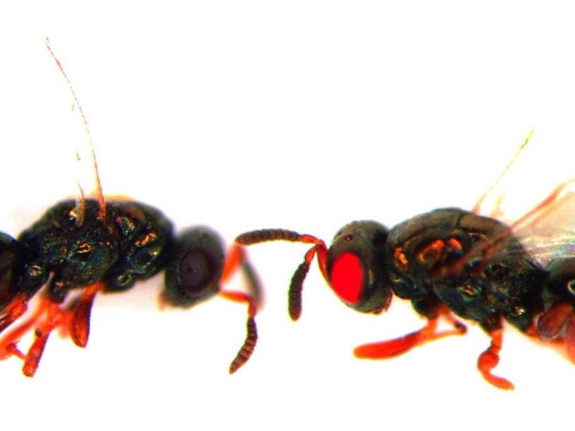 Wykorzystując technikę CRISPR naukowcy stworzyli osy z czerwonymi oczami /materiały prasowe