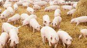 Wykryto szóste w kraju ognisko afrykańskiego pomoru świń