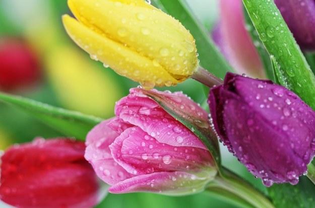 Wypróbuj sposobów, które przedłużą trwałość tulipanów /123/RF PICSEL