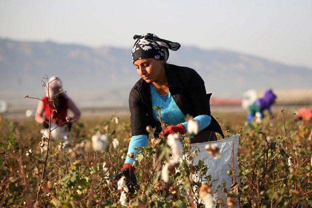 Wyprodukowanie kilograma bawełny wymaga 20 tysięcy litrów wody. /Getty Images