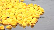 Wyścig gumowych kaczek w Białej Podlaskiej. Zbierano pieniądze na wakacje dla dzieci ze świetlic środowiskowych