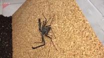 Wziął ogromnego pająka na ręce!