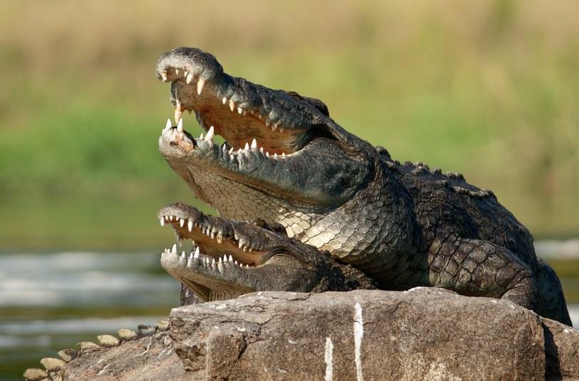 Z krokodylem lepiej nie zaczynać /©123RF/PICSEL