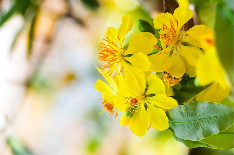 Z rośliny produkuje się herbatki i napary o zdrowotnych właściwościach /123RF/PICSEL