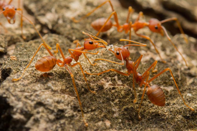 Z walk dwóch gatunków mrówek powstaje ciecz jonowa /123RF/PICSEL