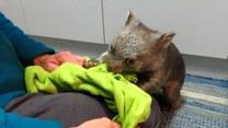 Zabawa z wombatem podczas kolacji