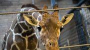 Zabili żyrafę na oczach dzieci. Nie będzie konsekwencji