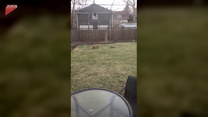 Zaciekawiony lis biegał za zdalnie sterowanym samochodem