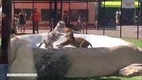 Zacięta walka dwóch tygrysów w zoo