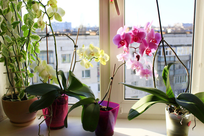 Zadbajmy o detale związane z ekspozycją kwiatów doniczkowych /123RF/PICSEL