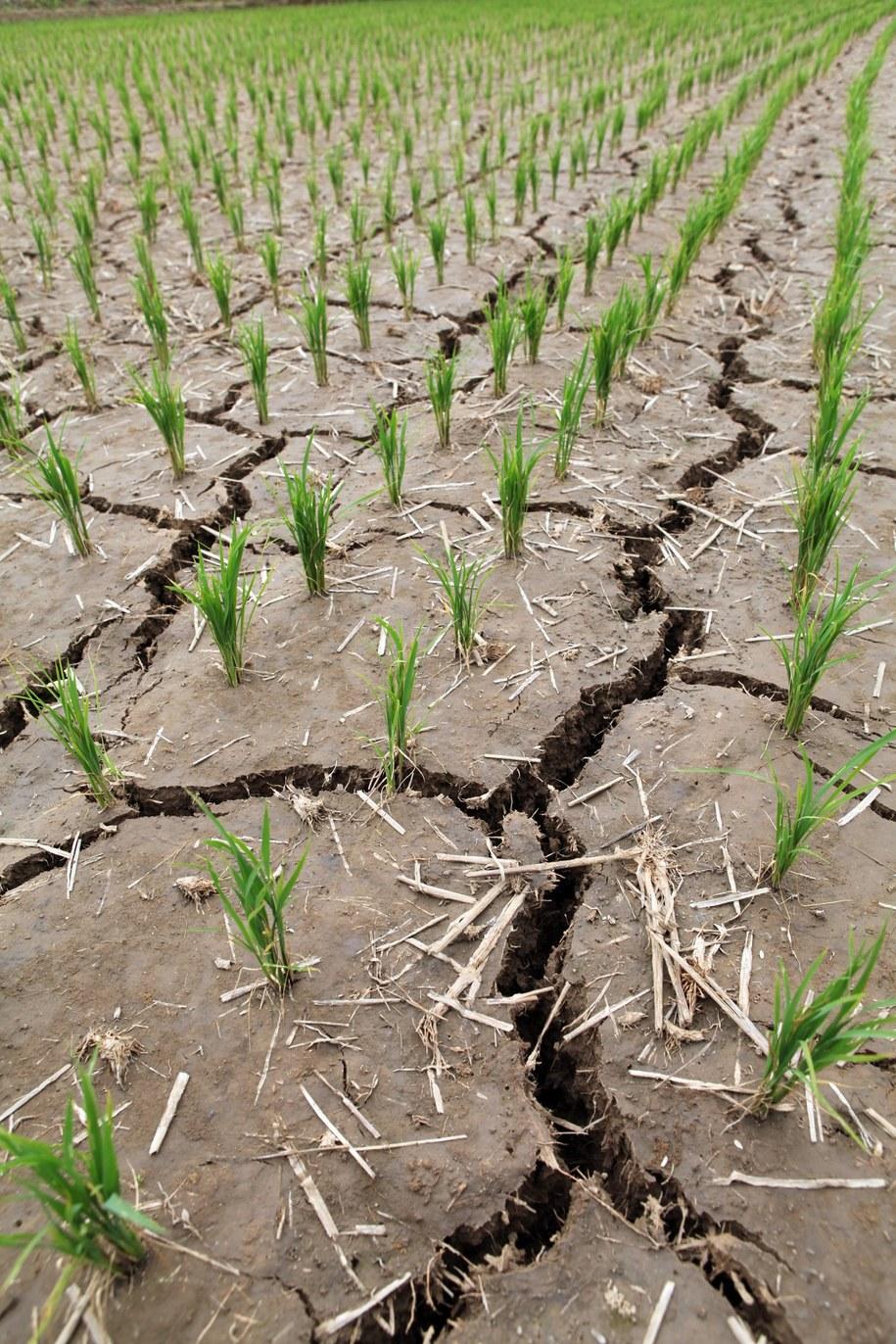 Zagrożone są m.in. uprawy ryżu / YONHAP    /PAP/EPA