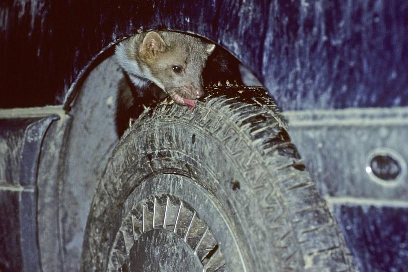 Zakamarki samochodu są często bardzo kuszące dla niektórych zwierząt /East News