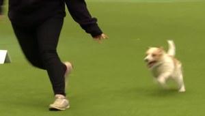 Zakręcony i szczęśliwy Jack Russell Terrier w akcji