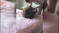 Zapasy z szopem i zazdrosny kot