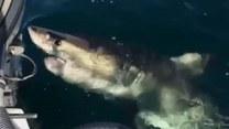 Żarłacz biały zaatakował łódź rybaków