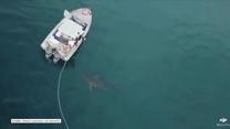 Żarłacz biały zaatakował motorówkę