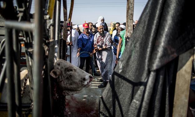 Zarzynanie rytualne stało się zautomatyzowane. Ale czy humanitarne? /AFP