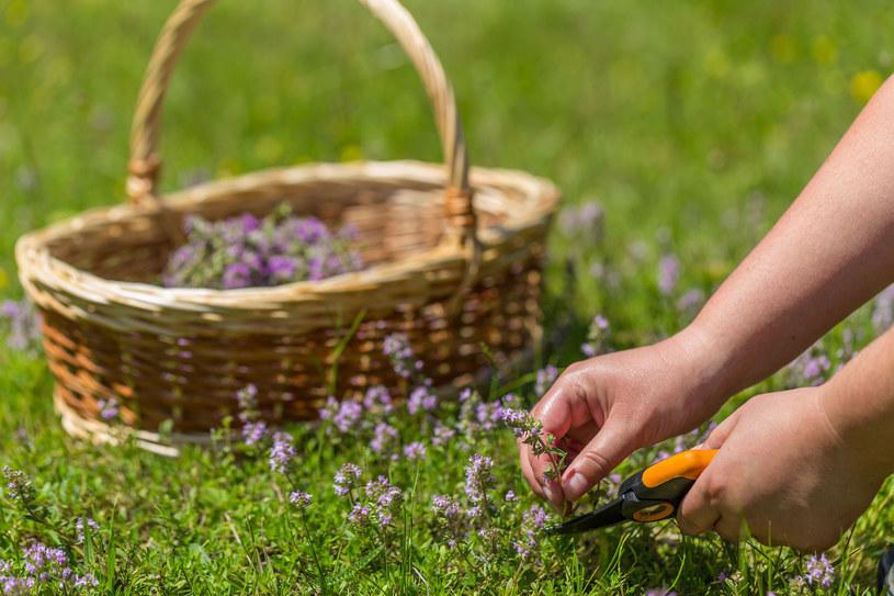 Zbieraj tylko młode i jędrne rośliny, oczyść je od razu z ziemi, zanieczyszczeń i owadów. /123RF/PICSEL