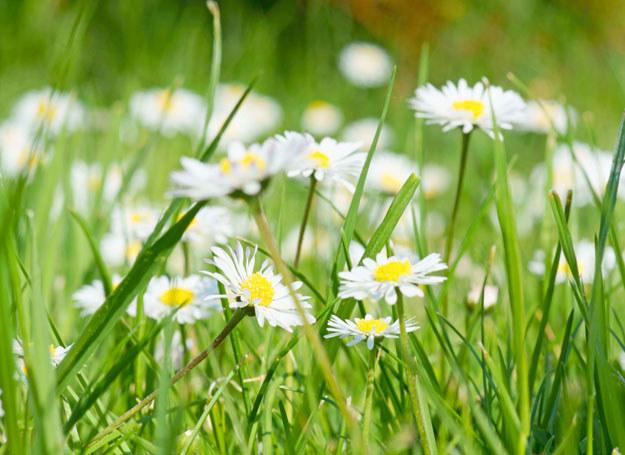 Zbieraj zioła w słoneczne, suche dni /©123RF/PICSEL