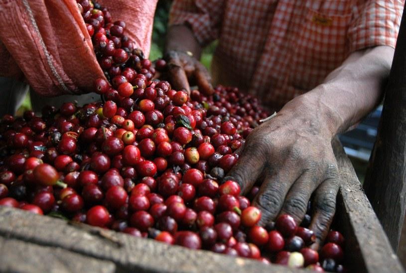 Zbiór kawy w Gwatemali /123RF/PICSEL