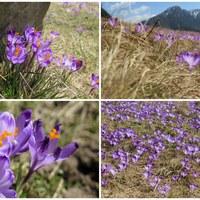 Krokusy pokryły fioletowym dywanem Dolinę Chochołowską