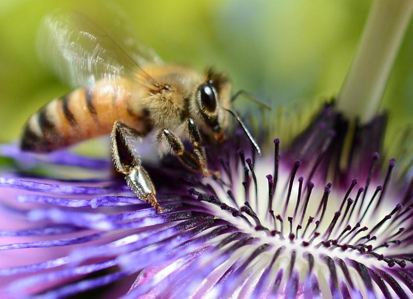 Zdolności pszczół są niezastąpione /AFP