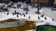 Żeby zobaczyć pingwiny, nie musisz jechać do... Afryki