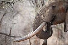 Zginął w polowaniu. Przygniótł go słoń