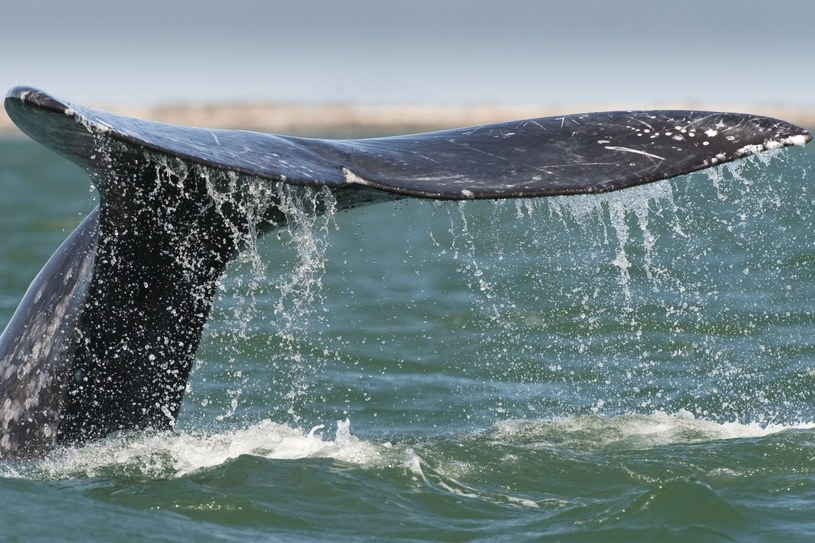 Zimą dookoła półwyspu aż roi się od potężnych wielorybów /AFP