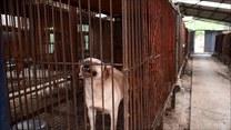 Zlikwidowali hodowlę psów przeznaczonych na mięso