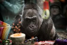Zmarł najstarszy goryl na świecie